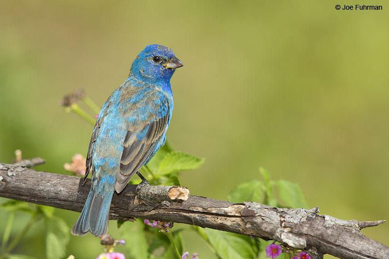 Indigo Bunting Galveston, TX April 2014