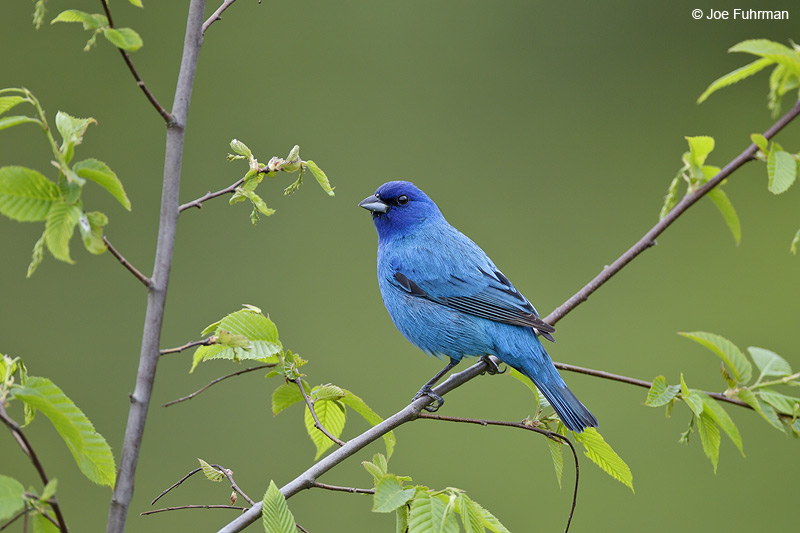 Indigo Bunting Cattaraugus Co., NY May 2012