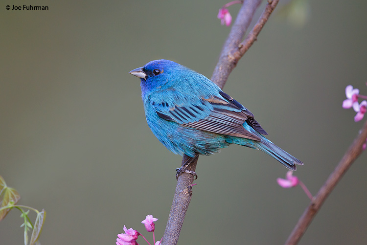 Indigo Bunting Vinton Co., OH April 2011