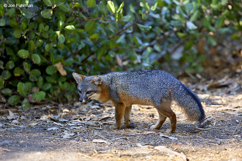 Island Fox Santa Cruz Island/Channel Islands N.P., CA Sept. 2014