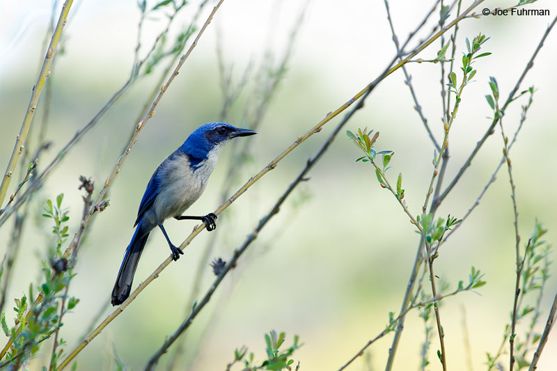 Island Scrub-JaySanta Cruz IslandChannel Islands N.P., CA   Feb. 2015