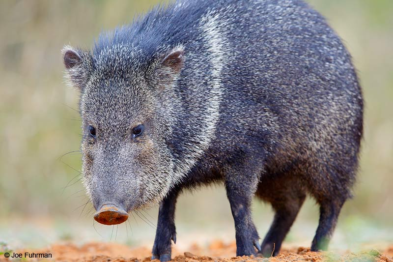 Peccary Starr Co., TX   March 2015