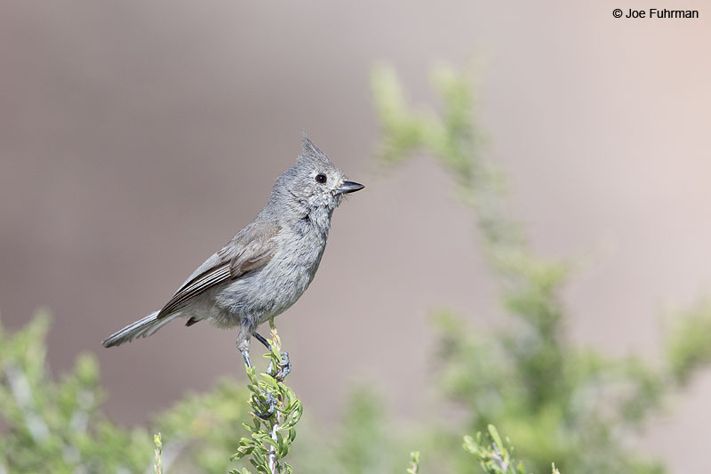 Juniper Titmouse Clark Co., NV May 2014