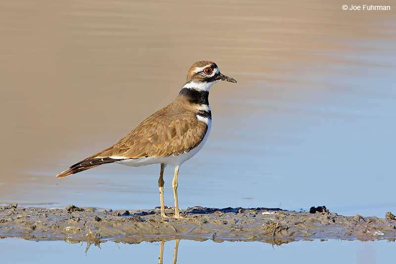 killdeer_07a8479