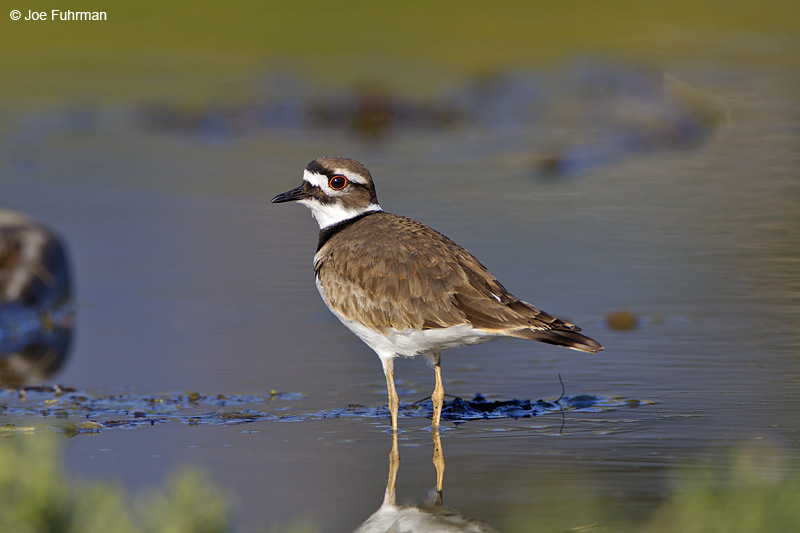 Killdeer Santa Barbara Co., CA November 2008