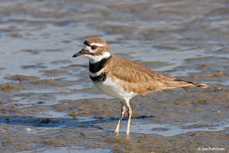 Killdeer L.A. Co., CA December 2007