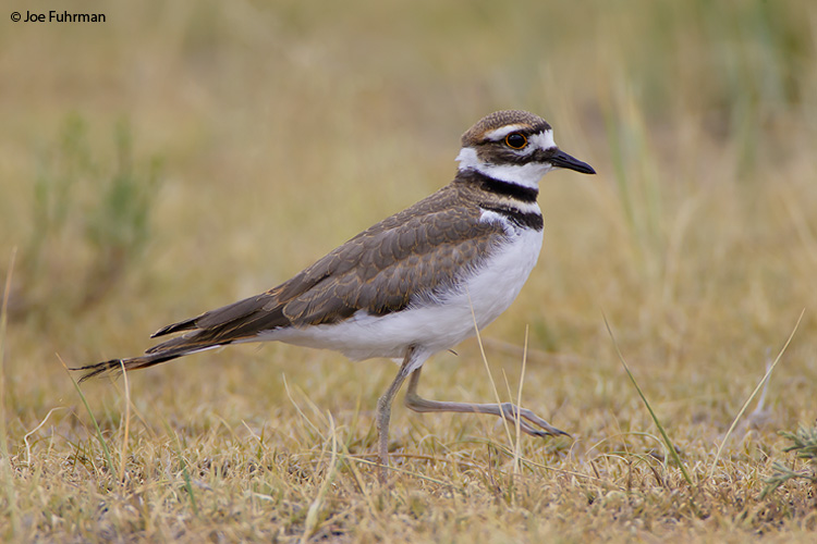Killdeer Weld County, CO July 2006