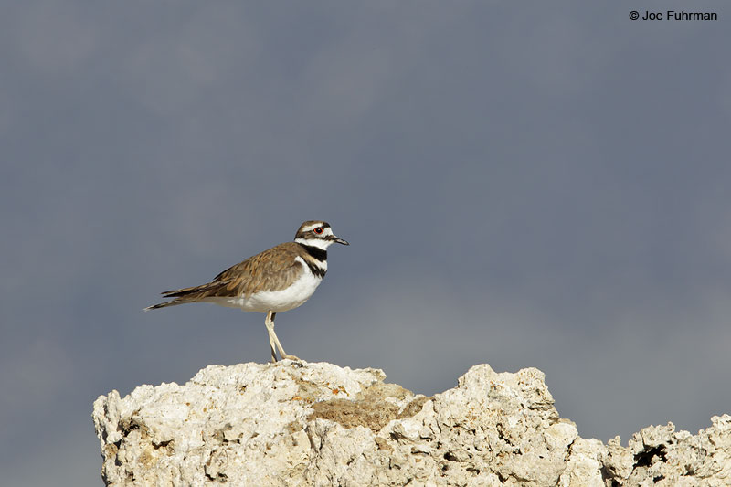 Killdeer Mono Co., CA June 2013