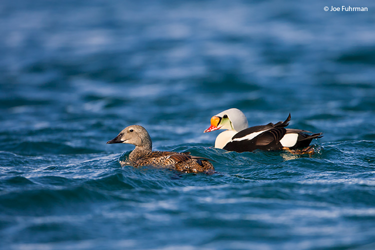 King Eider female & male-breeding Svalbard, Norway   July 2008