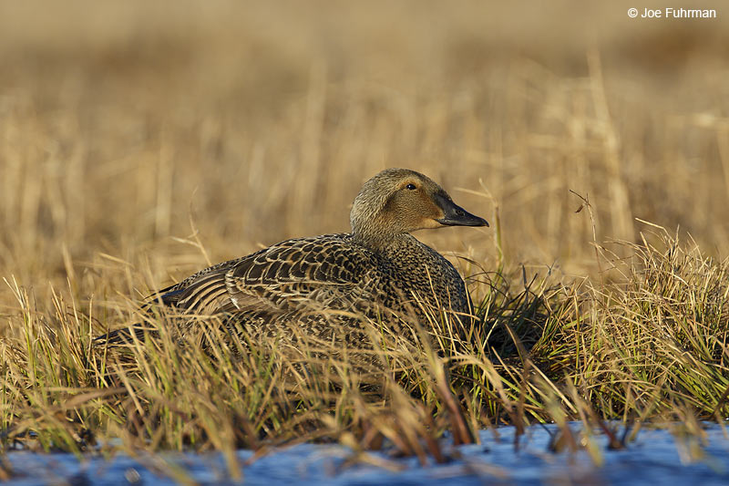King Eider female Barrow, AK    June 2012