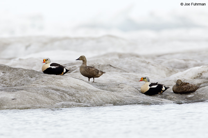 King Eider  Barrow, AK    June 2012