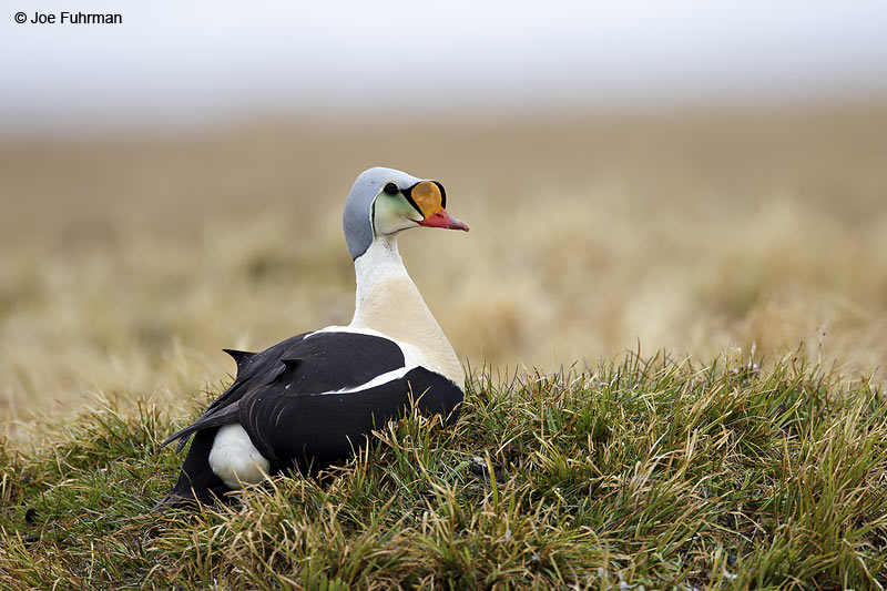 King Eider male Barrow, AK    June 2012