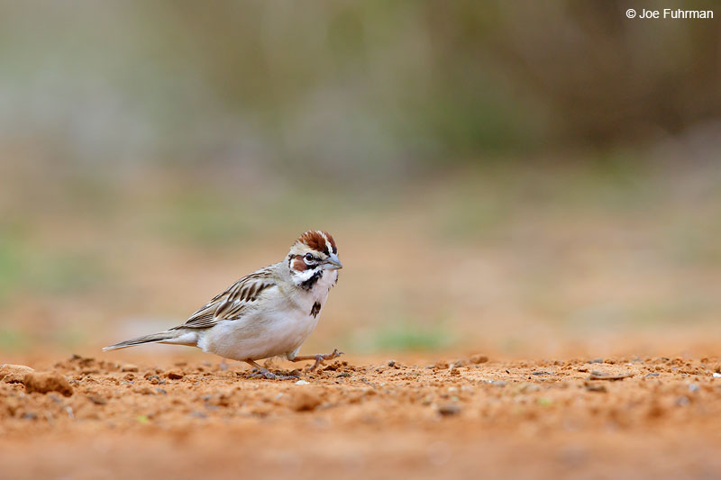 Lark Sparrow Starr Co., TX   March 2015