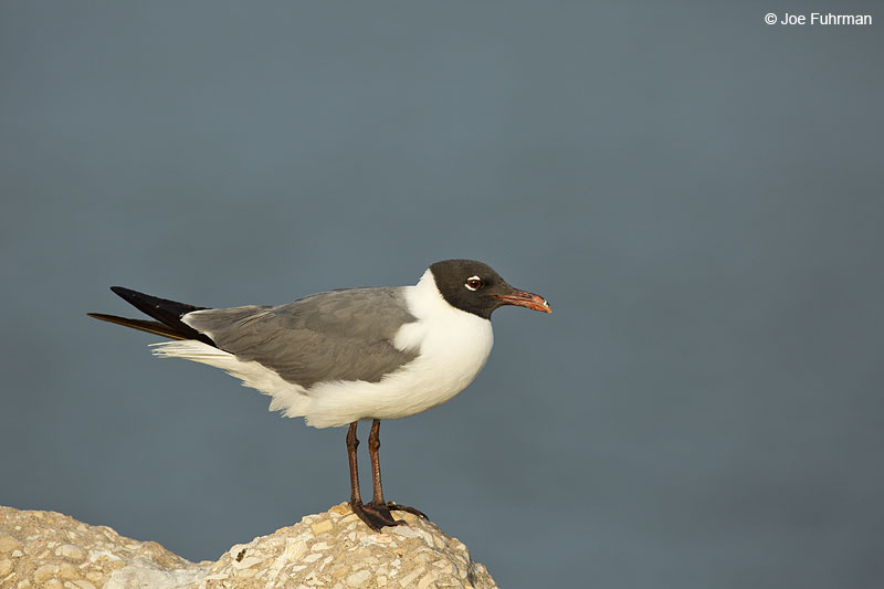 Laughing Gull Galveston, TX May 2014
