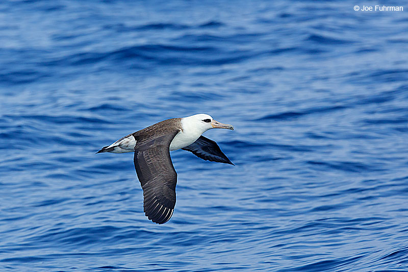 Laysan AlbatrossVentura Co., CA August 2015