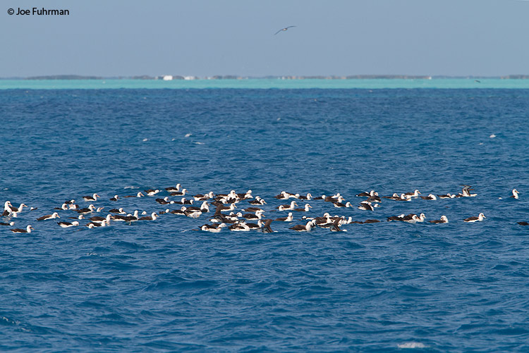 Raft of Laysan Albatross Midway Atoll, HA March 2010