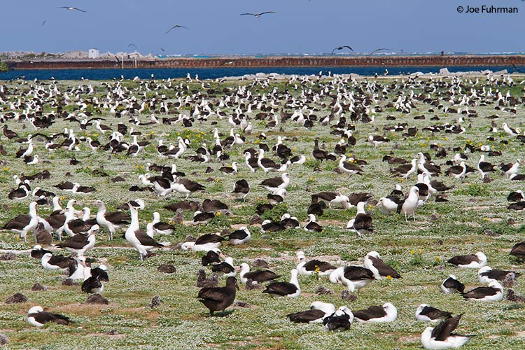 Laysan Albatross Midway Atoll, HA March 2010
