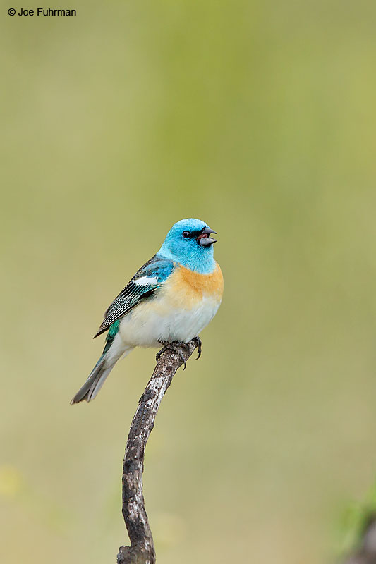 Lazuli Bunting male Ventura Co., CA May 2016