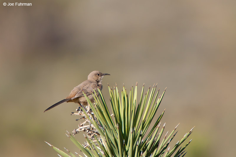 Le Conte's ThrasherKern Co., CA May 2006