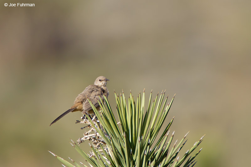 Le Conte's Thrasher Kern Co., CA May 2006