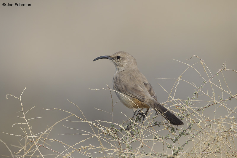 Le Conte's Thrasher Kern Co., CA Jan. 2012