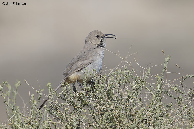 Le Conte's Thrasher Kern Co., CA March 2012