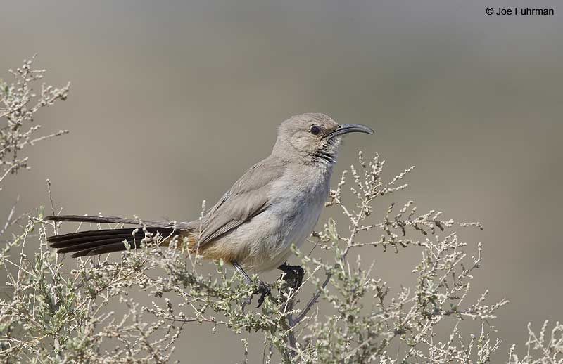 Le Conte's Thrasher Kern Co., CA March 2013