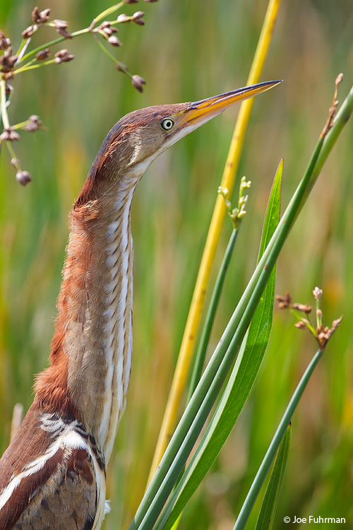 Least Bittern Broward Co., FL    April 2011