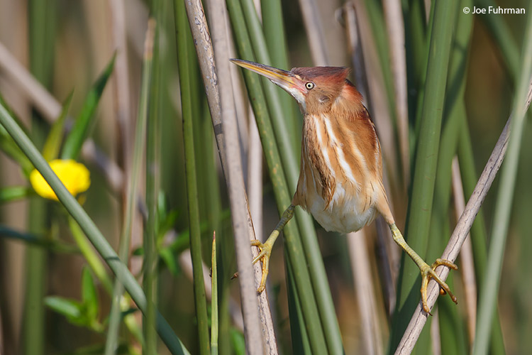 Least Bittern Osceola Co., FL   April 2011