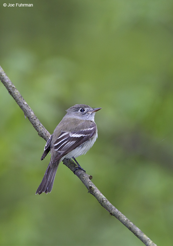 Least Flycatcher Cattaraugus Co., NY    May 2012