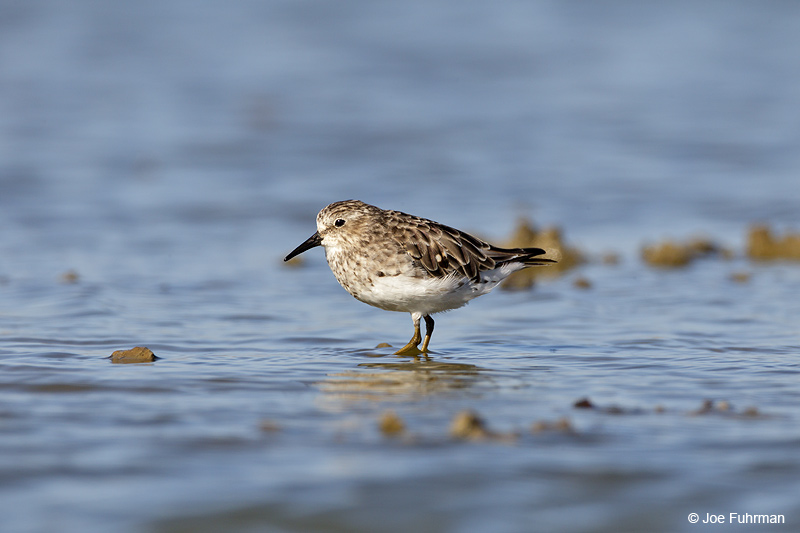 Least Sandpiper Ventura Co., CA August 2012