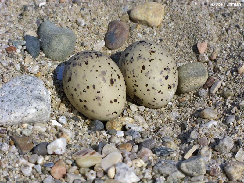 Least Tern eggs Ventura Co., CA June 2009