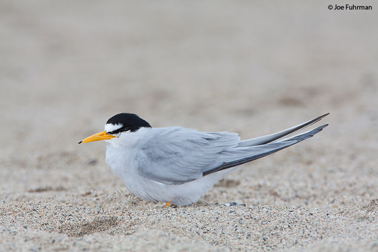 Least Tern adult breeding Ventura Co., CA June 2009
