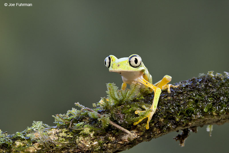 Lemur_Tree_Frog_16A4563