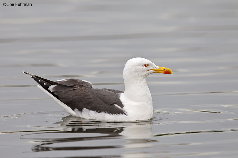 Lesser Black-backed Gull breeding adult Iceland   July 2013
