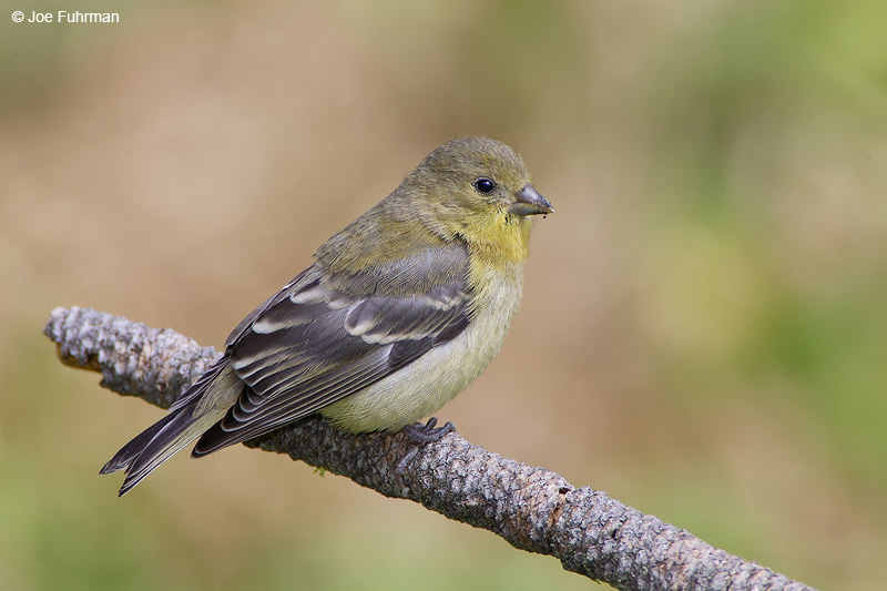 Lesser Goldfinch female San Diego Co., CA May 2007