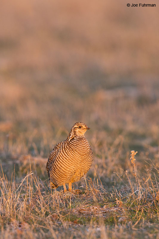 Greater Prairie-Chicken Lipscomb Co., TX   April 2013