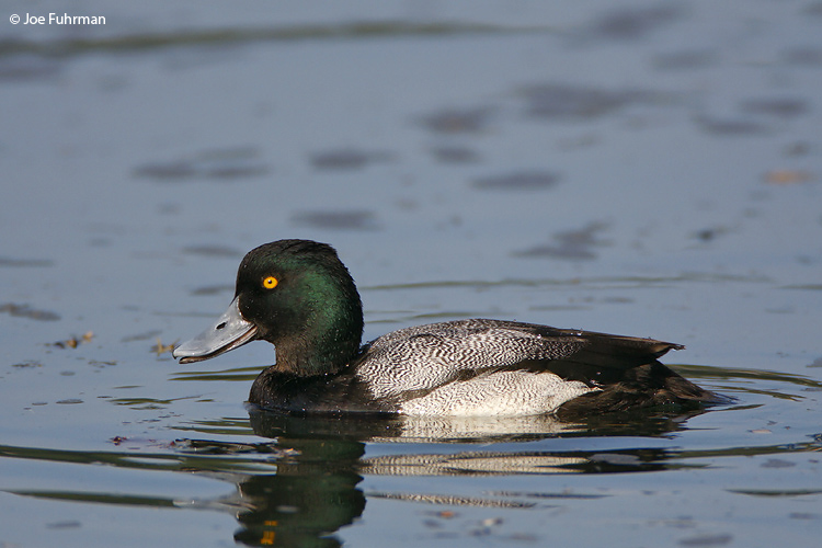 Lesser_Scaup__MG_9690