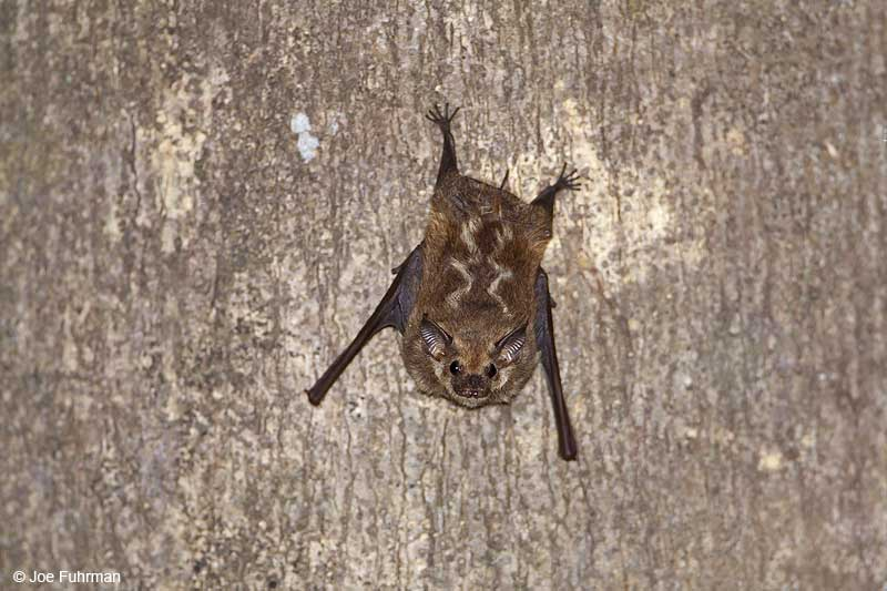 Lesser White-lined Bat Hato Pinero, Venezuela   February 2009