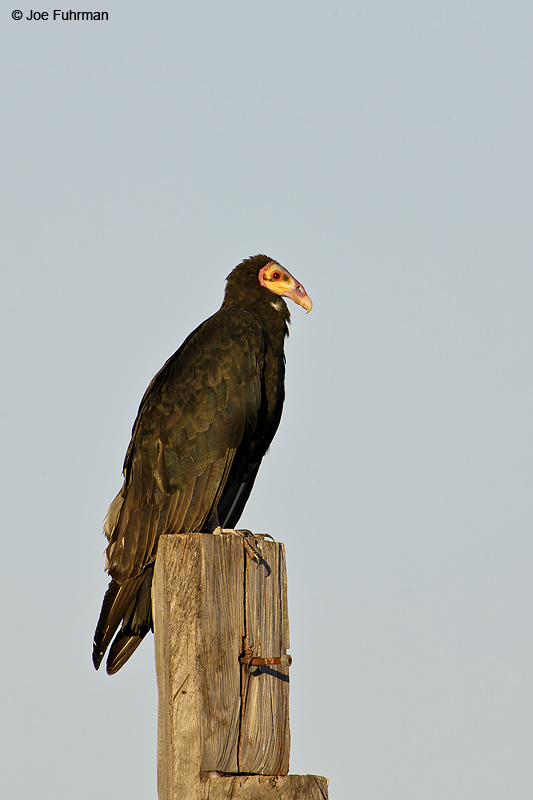 Lesser Yellow-headed Vulture Miranda, MS  BRZ     March 2008