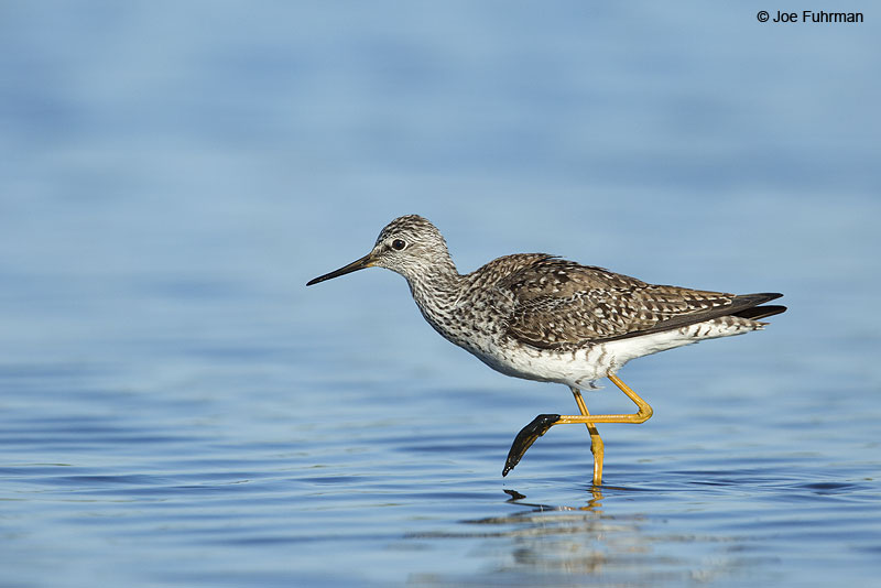Lesser Yellowlegs Galveston, TX May 2014