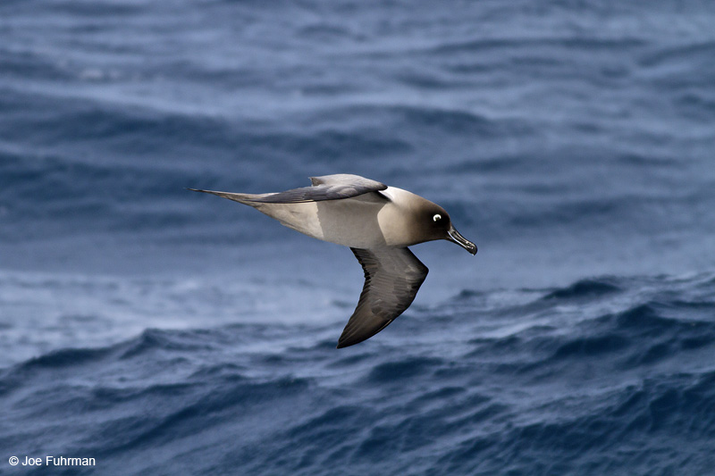Light-mantled Albatross Drake Passage     Nov. 2010