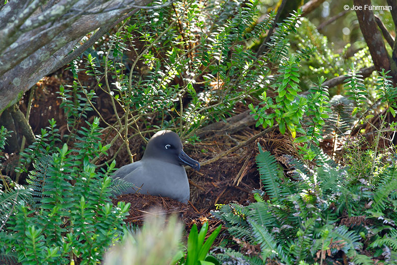 Light-mantled Sooty Albatross Campbell Island, New Zealand   Nov. 2014