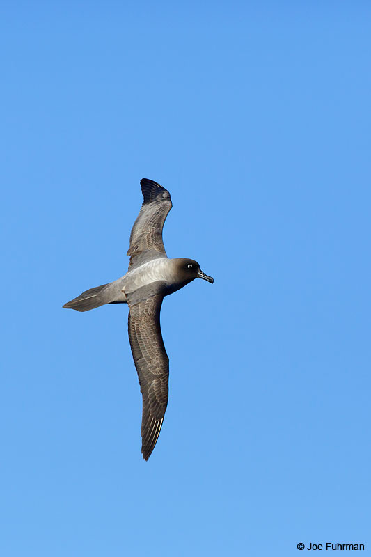 Light-mantled Sooty AlbatrossThe Antipodes, New Zealand   Nov. 2014