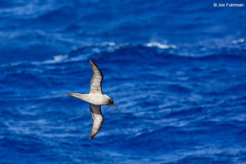Light-mantled Sooty Albatross The Antipodes, New Zealand   Nov. 2014