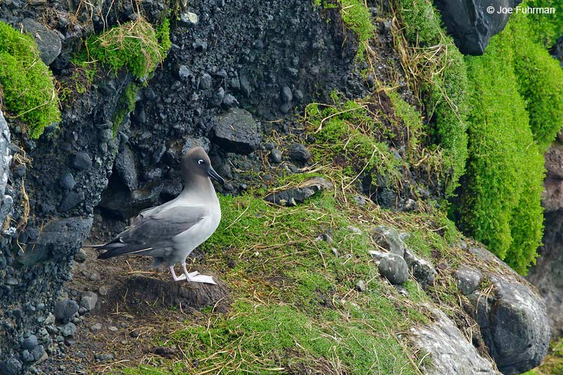 Light-mantled Sooty Albatross Auckland Island, New Zealand   Nov. 2014