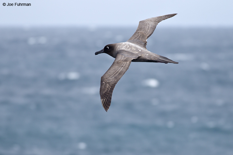 Light-mantled_Sooty_Albatross_W0G2199