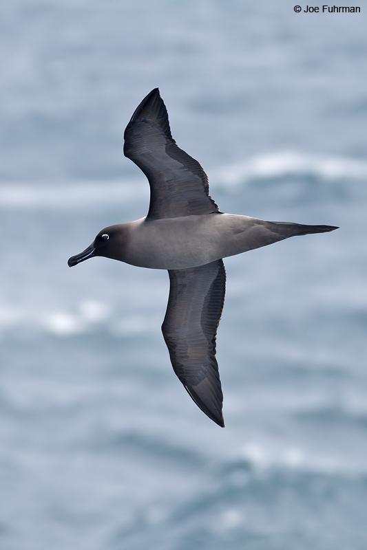 Light-mantled_Sooty_Albatross_W0G2231