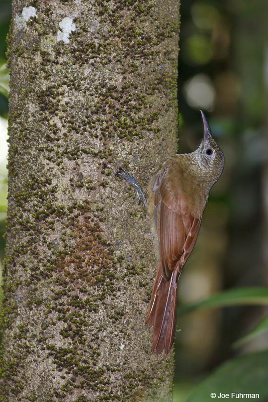 Lineated Woodcreeper Carajas, Brazil   October 2009