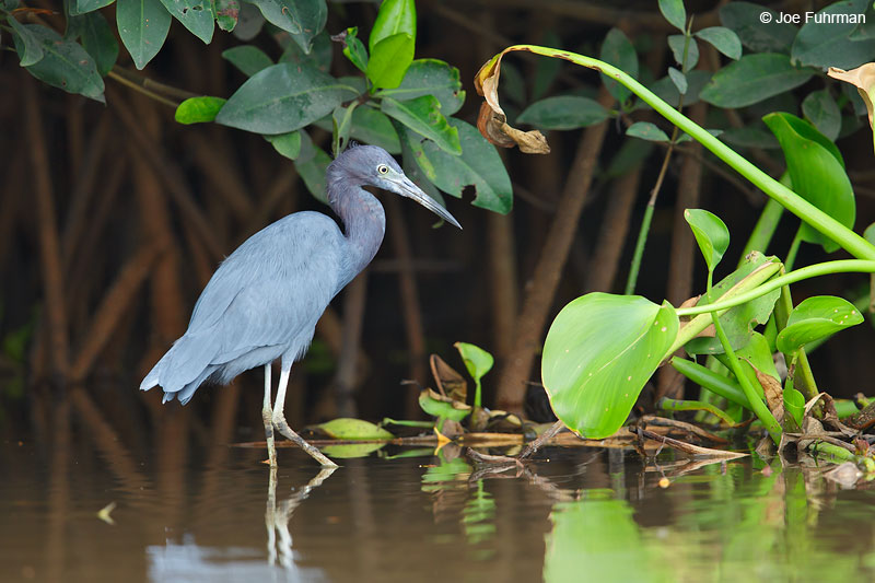 Little Blue Heron San Blas, Nayarit, Mexico April 2015